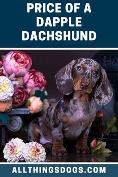 Dachshunds are brave, fierce and incredibly loyal dogs making them the perfect watchdog. The Dapple Dachshund just simply has a different pattern to his co Dapple Dachshund Puppy, Wire Haired Dachshund, Funny Dachshund, Dachshund Love, Weenie Dogs, Chihuahua Dogs, Doggies, Miniature Dachshunds, Dapple Dachshund