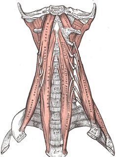 deep muscles of the neck
