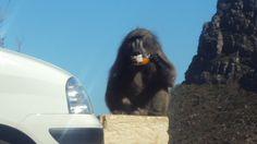 'King Kong' at Cape Point!