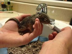 The tiny squirrel was so young, his eyes weren't opened yet. One of the best rescue stories ever. #Animals #pets
