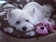 Gud nite fwends!  Hope yoo had a soopa weekend . . #goodnight #sleepy #sunday #sundayfunday #domenica #domingo #воскресенье #собака #perro #perrosdeinstagram #cane #dogsofig #westie #westiegram #westhighlandwhiteterrier #dogs_of_world #feature_do2 #sendadogphoto #barkbox #barkhappy #lacyandpaws #petmodel #puppytales #poshpamperedpets #bestie #dogstagram #вести #dogfeatures #aussiedog #topdogphoto by bbgirrrldog