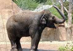 Sri - Elephants at the St. St Louis Zoo, Kids Events, The St, Elephants, Mammals, Fur Babies, Activities For Kids, Creatures, Kitty