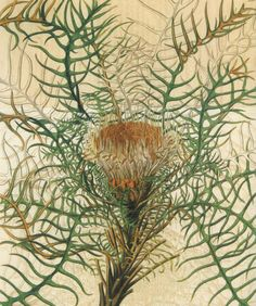 """Unknown artist, Dryandra pteridofolia, reproduced from """"Capturing Flora: 300 years of botanical illustration"""" Botanical Drawings, Botanical Art, Botanical Illustration, Japanese Drawings, How To Make Paper Flowers, Abstract Print, Flower Making, Trees To Plant, Printmaking"""