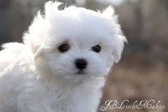 Maltese Cutie Pie - SO WANT!!!