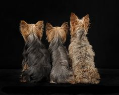 The Popular Pet and Lap Dog: Yorkshire Terrier - Champion Dogs I Love Dogs, Cute Dogs, Awesome Dogs, Top Dog Breeds, Yorky, Silky Terrier, Yorkshire Terrier Puppies, Lap Dogs, Tier Fotos