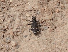 Naturwunder ...: Kupferbrauner Sandlaufkäfer (Cicindela hybrida)