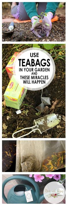 Teabags, How to Use Teabags In Your Garden, Gardening, Gardening Tips and Tricks. Growing Tomatoes In Containers, Growing Vegetables, Growing Plants, Gardening Vegetables, Tips And Tricks, Tomato Garden, Vegetable Garden, Gardening For Beginners, Gardening Tips