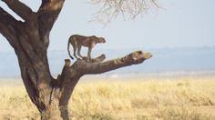 Cheetahs in Amboseli scanning the horizon for their lunch.