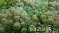 Sempervivum arachnoides var.bryoides
