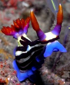 The Sea Slug Forum - Nembrotha purpureolineata