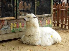 Lamas like people and I like them