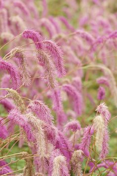 Sanguisorba hakusanensis  by peaceful-jp-scenery, Flickr