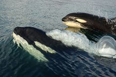 Killer whales by Judi Wellden, via Flickr