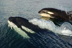 Killer whales by Judi Wellden, via Flickr