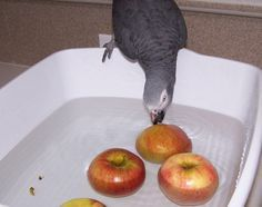Place vegetables & fruits in a tub of clean water for your parrot to bob for. It is an easy activity to set up & an enjoyable one! PLEASE NOTE, this is an activity that should be supervised & it is important to use a tub that is suitably shallow for your bird's size in case they fall in.