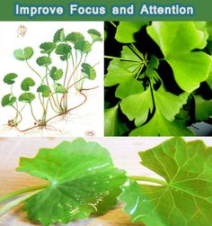 Natural Remedies For ADD - Five Herbs to Improve Focus and Attention