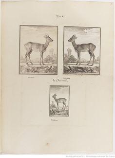 Chevreuil, Figures pour l'histoire des quadrupèdes, par M. de Buffon.. Tome II / Déssins [sic] originaux par DeSeve et Buvée, avec les Gravures des Editions in12 et in4° vol. 5 à 7.   1755-1758