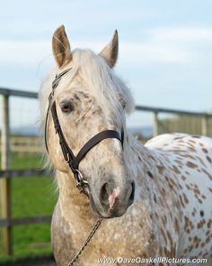 Afon Mr Crispie. Appaloosa And New Forest Pony.