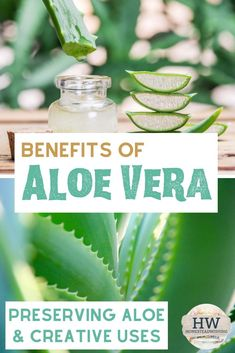 We'll be talking about the amazing benefits of aloe vera. Plus great ways to preserve aloe and creative ways to use it. We'll be talking about the amazing benefits of aloe vera. Plus great ways to preserve aloe and creative ways to use it. Diy Herb Garden, Garden Ideas, Gardening Tips, Vegetable Gardening, Container Gardening, Natural Living, Simple Living, Growing Herbs, Health And Fitness Tips