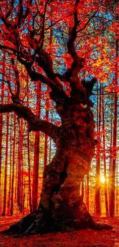 guter, alter und herrlicher Baum **