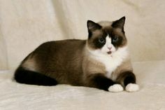 ~Snowshoe are rare due to the difficulty of reproducing the correct coat markings..