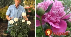 Takto prinútite pivonku, aby mala tento rok najkrajšie kvety v okolí + najjednoduchší tip, ako ju rozmnožiť!