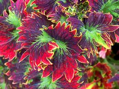 Coleus - this is pretty BA!!!! I would love to have one of these lol