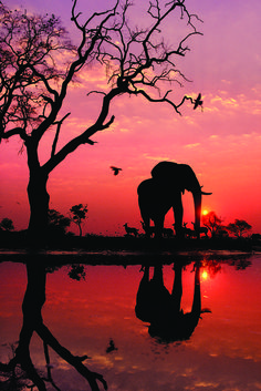 """African elephant silhouetted by the sunrise. """"Elephant at Dawn"""", Botswana, 1989. Photograph by Frans Lanting"""