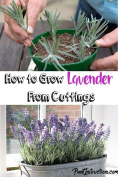 The lavender plant is one of the most beautiful and scented plants you can grow, and today we'll teach how to you can actually grow lavender from cuttings! Growing lavender from seeds can be a… Growing Lavender, Planting Flowers, Herbs, Plants, Lavender Plant, Growing Herbs, Propagating Plants, Plant Care, Container Gardening
