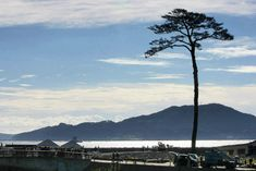the pine tree that remains after the 311 tsunami is cut off and will come back here two years later.