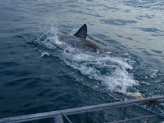Shark! by KimNowacki, via Flickr