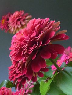 Zinnias... Look at the vibrant color!!