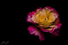 Rosing Star by Grigore Georgiana