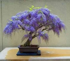 Wow Wisteria Bonsai Tree !