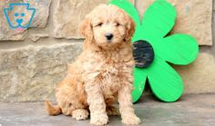 Andy | Goldendoodle - Miniature Puppy For Sale | Keystone Puppies Goldendoodle Miniature, Miniature Puppies, Goldendoodle Puppy For Sale, Design Development, Puppies For Sale, Miniatures, Dogs, Cute, Animals