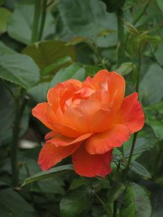 Bed Of Roses, Forever Rose, Types Of Roses, Brand New Day, Special Flowers, You're Beautiful, Container Plants, Perennials, Orange