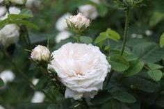 Pensasruusu Romantic Cottage, Cottages, Rose, Flowers, Plants, Cabins, Pink, Cottage, Roses