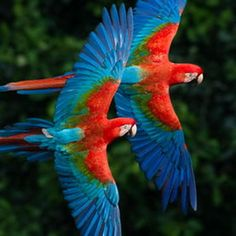 Birds (Red-and-green Macaws) or scarlet macaw? Tropical Animals, Tropical Birds, Exotic Birds, Colorful Birds, Cute Birds, Pretty Birds, Beautiful Birds, Animals Beautiful, Green Wing Macaw