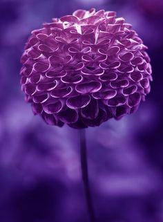purple pompom dahlia  I love this purple color! Repinned by www.loisjoyhofmann.com