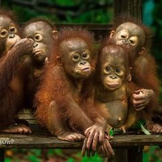 offspringOfKetapang#CanonShot#BabiesLove# Jungle Animals, Cute Baby Animals, Funny Animals, List Of Animals, Animals And Pets, Beautiful Creatures, Animals Beautiful, Monkey World, Palate Cleanser