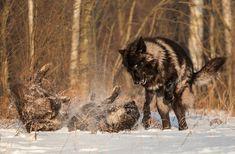 """Les loups noirs : Un photographe passionné avec un amour pour la faune a photographié des scènes de loups des bois noirs majestueux comme personne auparavant. Il dit, """"Je m'appelle Conrad Tan.Je réside actuellement en Californie du Nord dans la région de la baie de San Francisco.La photographie était un passe-temps"""