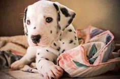 Image via We Heart It https://weheartit.com/entry/135579766/via/12675961 #adorable #animals #cute #dalmatian #dog #dogs #pets #puppy