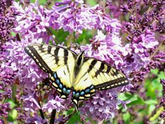 Lilacs are often considered to symbolize love, and they attract beautiful butterflies to your garden. Sounds like a perfect gift for the special woman in your life! Stop by a Central garden centre and pick up some lilac bushes; when it blooms every year, she'll be reminded of how much you care. #flowers #butterfly