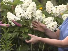 There are many types of Hydrangea for the garden. Here, Sandy Mason discusses the difference between oakleaf hydrangea and Hydrangea arborescens.
