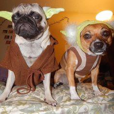 @luna_and_lily  may the 4th be with u #pugmob #pugnation #zerozeropug #puglove #smilingpugs #pugrequest #flatnosedogsociety #TheTomCoteShow #pugsandkisses #puglife #insta_dogs #sendadogphoto #weeklyfluff #pug #lacyandpaws #speakpug #pugsofinstagram #pugs #pugsproud_feature #dogs #pugsloversclub #cutepugsonly #cutepugs #srslycute #dailypugs #pizzacat by pugmob