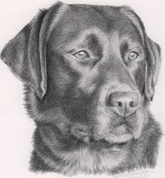 Pencil Sketches of Animals | really pleased with the result. Lincoln Portraits 01892 870835 or ...