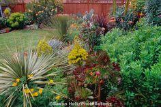 Aeonium arboreum atropurpurea blooming in succulent garden mixed border with Dasylirion