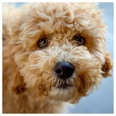 Cockapoo Puppy - @Kala Wangsness Wangsness Marshall this reminds me of Scootie's little face
