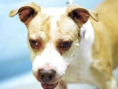 💖 SAFE - 7-13-2017 Brooklyn SUPER URGENT : 7/12/17 : (07/03/17 ) DIAMOND – A1117384 FEMALE, TAN / WHITE, AM PIT BULL TER MIX, 10 yrs OWNER SUR – EVALUATE, NO HOLD Reason PET HEALTH Intake condition UNSPECIFIE Intake Date 07/03/2017, From NY 11225, Due Out Date 07/03/2017,
