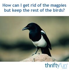 """Magpies can be real bullies at a backyard feeder. This is a guide about, """"How can I get rid of the magpies, but keep the rest of the birds?""""."""